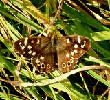 a speckled wood, Rivington Pike Lancs.